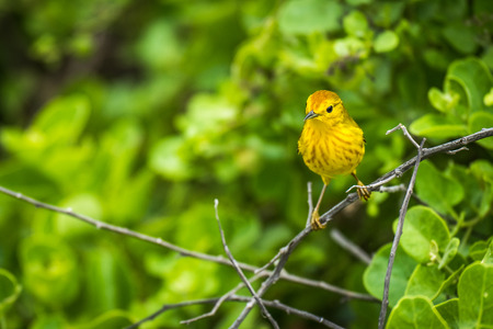 aureola: Yellow warbler perched on branch in woods
