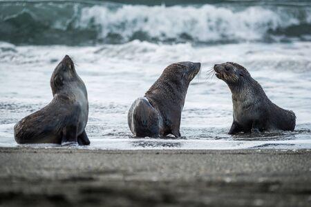 Three Antarctic fur seals with surf behind