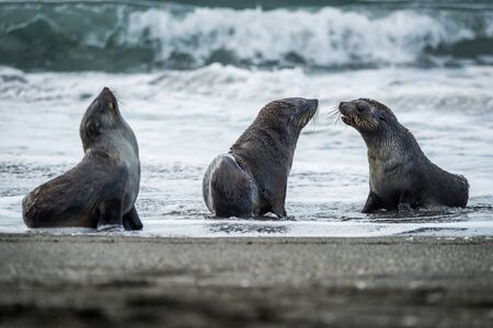 Three Antarctic fur seals with surf behind