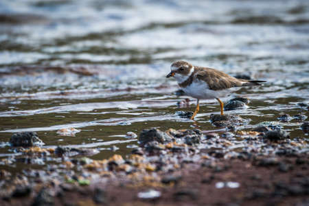 wading: Ruddy turnstone wading through shallow rock pool