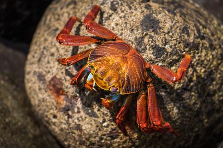 mottled: Sally Lightfoot crab on mottled brown rock Stock Photo