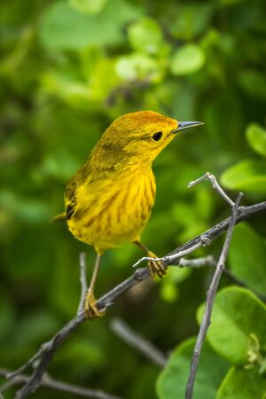 aureola: Yellow warbler perched on branch in forest Stock Photo