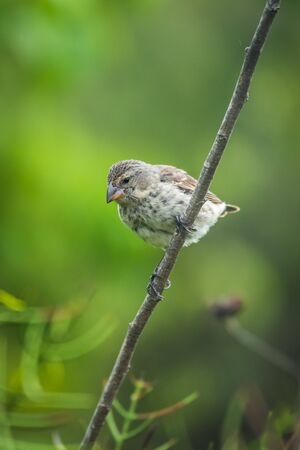 perched: Vegetarian finch perched on branch looking down Stock Photo