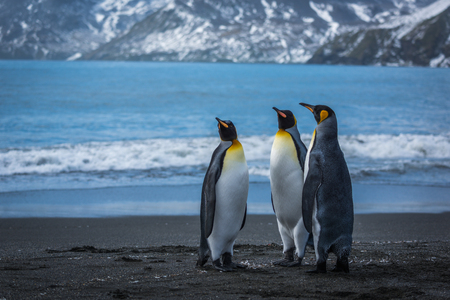 penguins on beach: Three penguins on beach with mountains behind Stock Photo