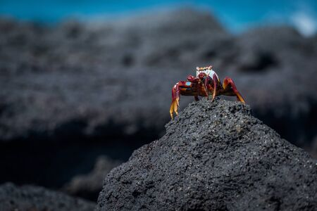 mound: Sally Lightfoot crab perched on rocky mound