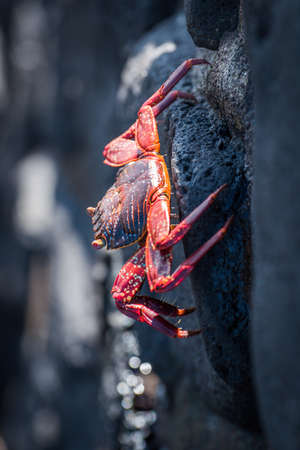 clinging: Sally Lightfoot crab clinging to stone wall Stock Photo