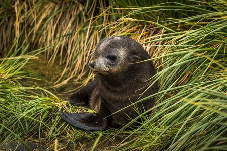 antarctic: Cute Antarctic fur seal pup in grass