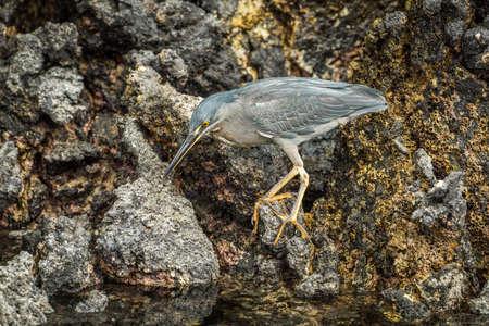 striated: Striated heron looking for food among rocks