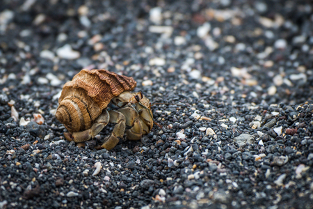 shingle: Semi-terrestrial hermit crab walking along shingle beach