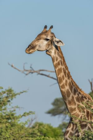 oxpecker: Close-up of South African giraffe with oxpecker Stock Photo