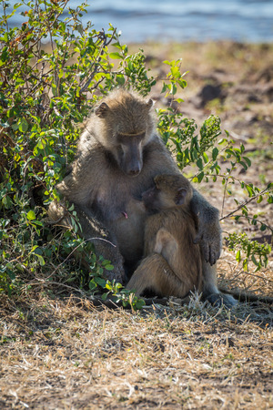 nursing baby: Chacma baboon mother nursing baby by bush