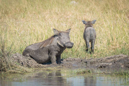 wallowing: Baby warthog leaving mother wallowing in mud