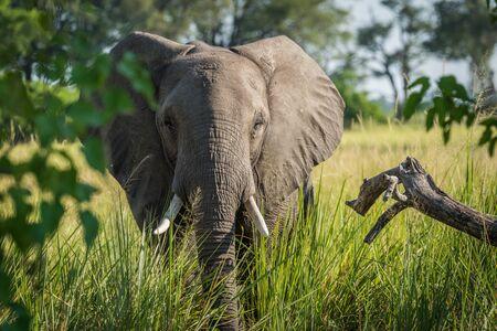 facing to camera: Close-up of elephant behind bush facing camera Stock Photo