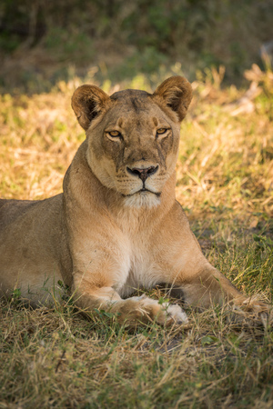 grassy: Close-up of lioness lying in grassy clearing Stock Photo