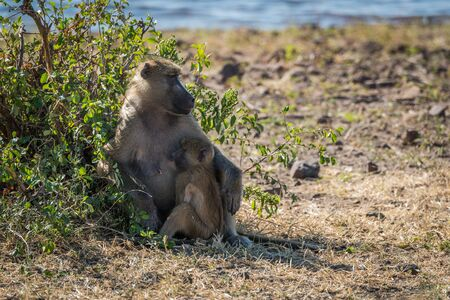 nursing baby: Chacma baboon mother nursing baby beside bush