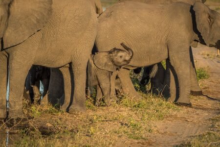 facing on camera: Baby elephant in adult herd facing camera