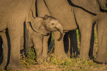 facing on camera: Baby elephant dwarfed by adults facing camera