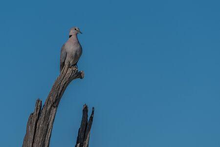 turtle dove: Cape turtle dove on dead tree branch