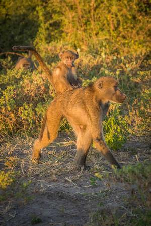 baboon: Chacma baboon walking with baby on back