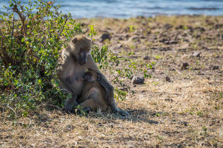 nursing baby: Chacma baboon mother nursing baby beside river