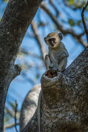 facing on camera: Baby vervet monkey in branches facing camera
