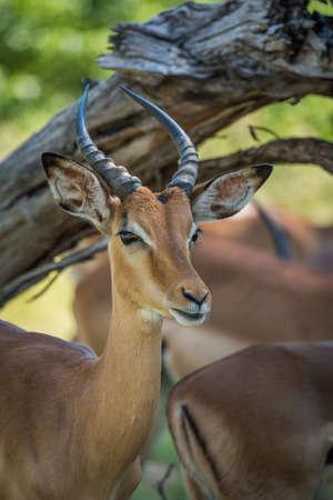 Close-up of impala under branch facing camera