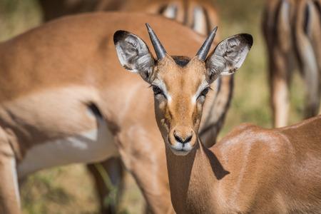 facing to camera: Close-up of young male impala facing camera Stock Photo