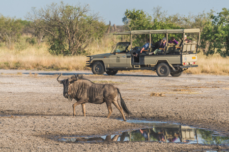 wildebeest: Blue wildebeest by puddle with jeep behind Stock Photo
