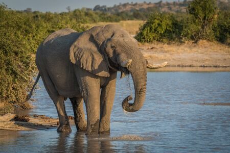 the water hole: Elephant at dusk drinking from water hole