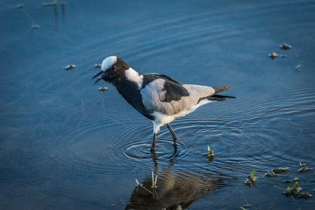 wading: Blacksmith plover wading through shallows of river Stock Photo