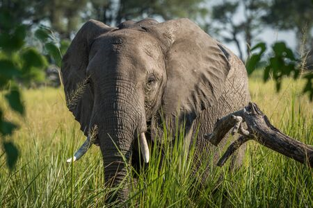 Close-up of elephant in grass facing camera