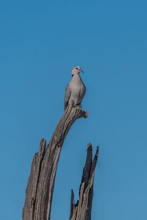 turtle dove: Cape turtle dove on dead tree stump