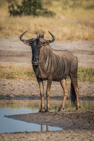 facing to camera: Blue wildebeest standing beside puddle facing camera