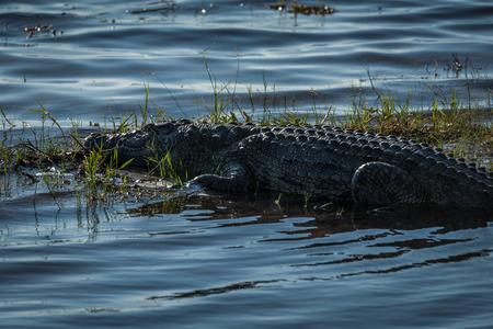 the nile: Close-up of Nile crocodile on grassy island
