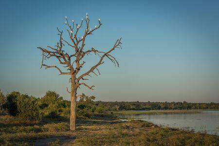 egrets: Cattle egrets in dead tree beside river Stock Photo