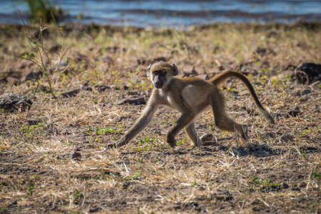 baboon: Baby chacma baboon running along river bank Stock Photo