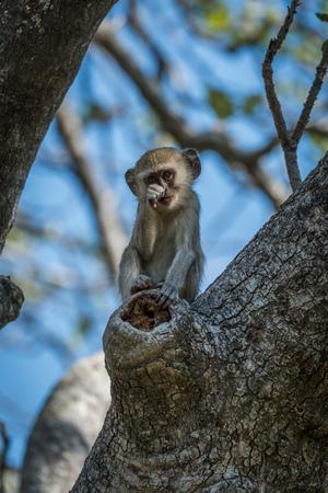 facing to camera: Baby vervet monkey scratching nose facing camera