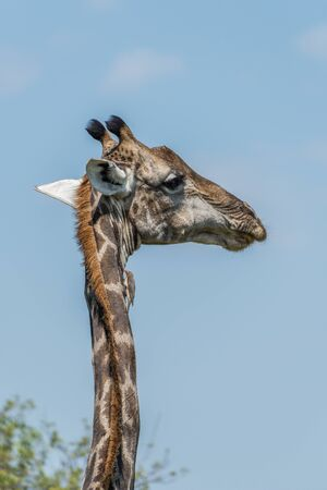 oxpecker: Close-up of South African giraffe looking right Stock Photo