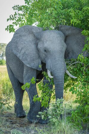 chiefs: Elephant brushing past leafy bush facing camera Stock Photo