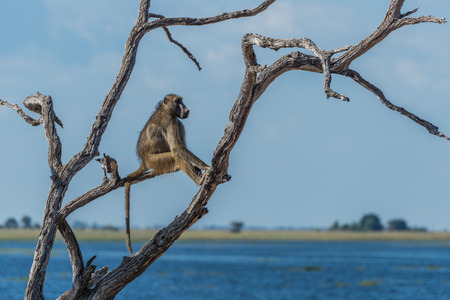 baboon: Chacma baboon sitting by river in tree