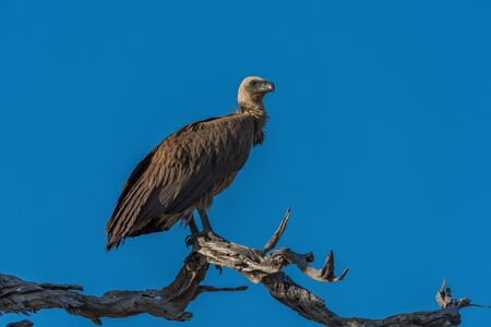facing right: White-backed vulture on dead branch facing right Stock Photo