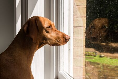 looking through window: Close-up of Hungarian Vizsla looking through window