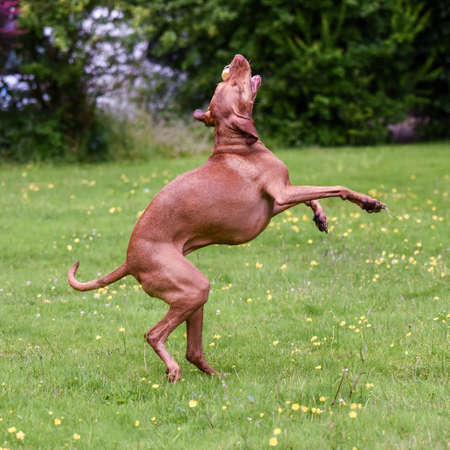 hungarian pointer: Hungarian Vizsla on hind legs catches toy Stock Photo