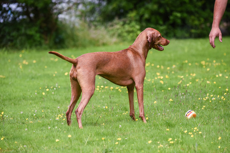 hungarian pointer: Hungarian Vizsla drops toy hamburger for owner