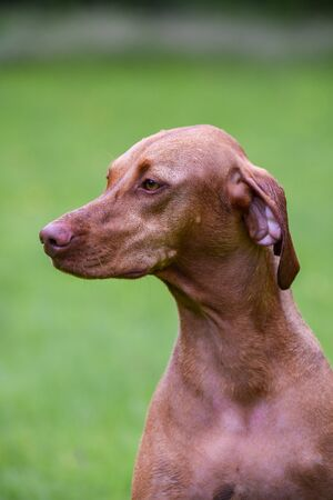 hungarian pointer: Close-up of Hungarian Vizsla sitting in garden Stock Photo