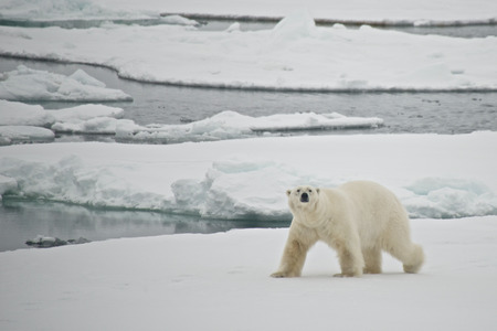 polar bear on ice: Polar bear crossing ice floe in Arctic