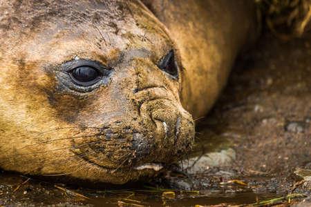 muddy: Close-up of elephant seal on muddy beach Stock Photo
