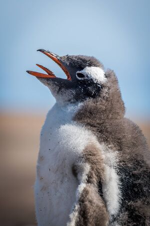 pygoscelis papua: Close-up of gentoo penguin chick on beach