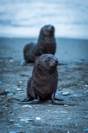 antarctic: One wet Antarctic fur seal behind another