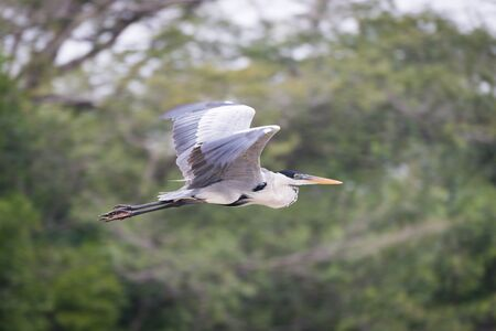gray herons: Cocoi heron flying past blurred tree branches Stock Photo